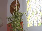 rempotage d'une plante d'appartement