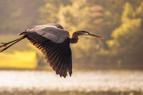 Great-Blue-Heron-Flying-Lake-Nature-Photo-485x728