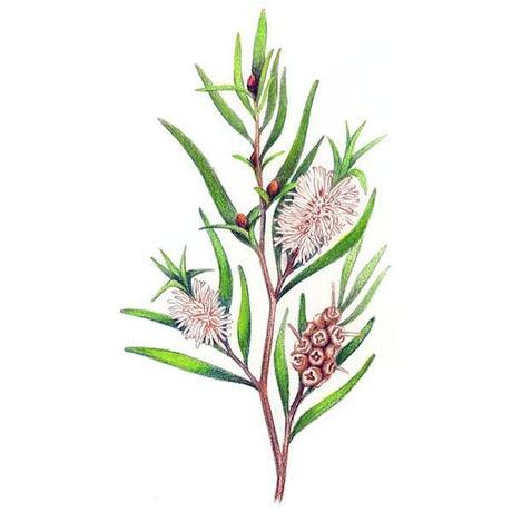 huile-essentielle-de-tea-tree