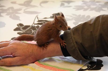 Un écureuil orphelin entre de bonnes mains