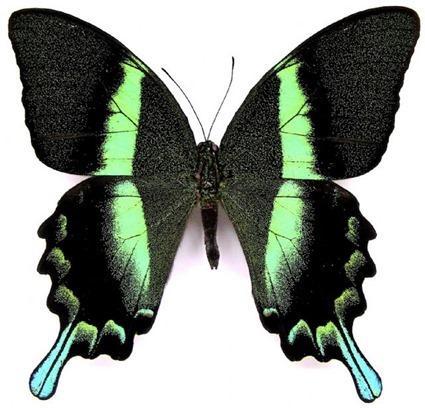 Papilio blumei fruhstorferi