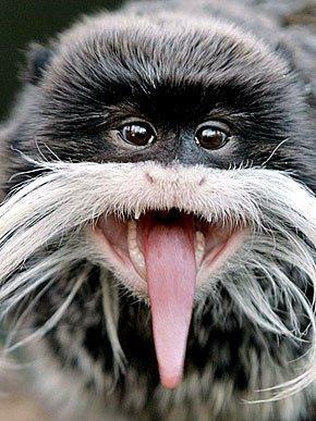 Animaux tirent la langue