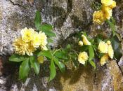 Banksiae Lutea rosier printemps fait tourner têtes