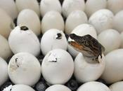 Naissance bébés crocodiles