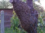 Essaim d'abeilles sauvages Mirebeau