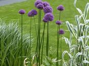 l'Allium, boule haute couleur pour jardin