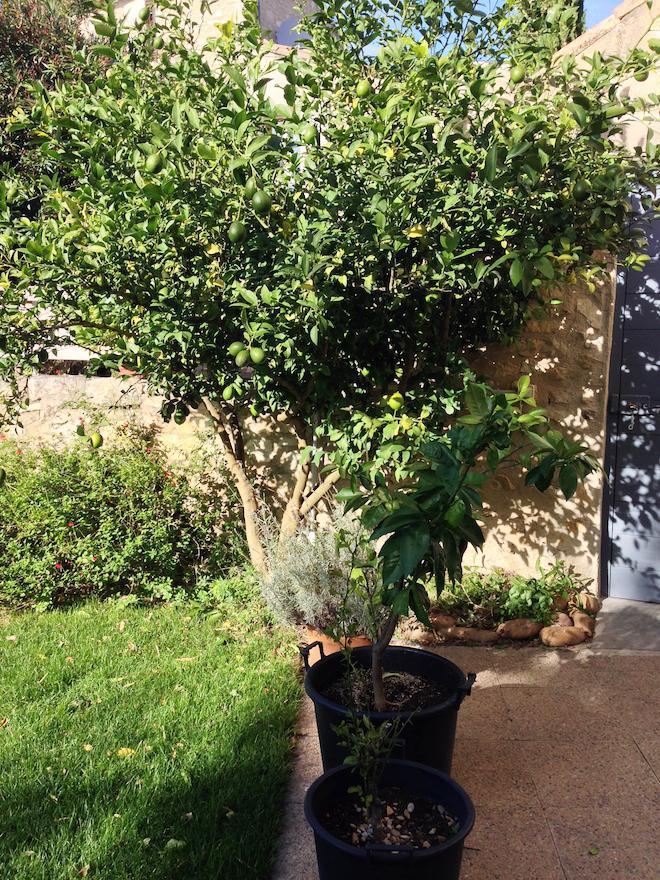 Jardin-Provence-citronnier