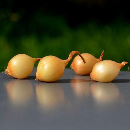 oignon echalote et ail les bulbes planter en automne pour des r coltes pr coces d couvrir. Black Bedroom Furniture Sets. Home Design Ideas