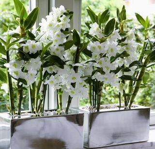 4 conseils pour les orchid es dendrobium paperblog. Black Bedroom Furniture Sets. Home Design Ideas