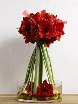 Amaryllis ou hippeastrum tr s belle fleur coup e pour les for Les fleurs amaryllis