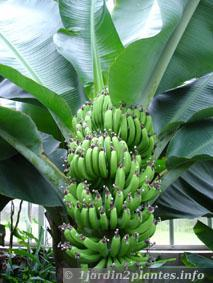 une plante fruiti re le bananier musa dwarf cavendish paperblog. Black Bedroom Furniture Sets. Home Design Ideas