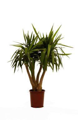 Le yucca une plante oubli e paperblog for Plante yuka ikea
