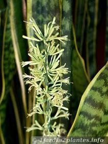 Une plante d 39 int rieur le sansevieria ou sanseveria paperblog - Plante langue de belle mere ...