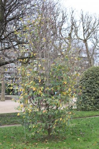 ficus ginseng feuilles jaunes