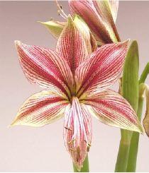 Une plante bulbe fleur l 39 amaryllis d couvrir for Vente bulbe amaryllis
