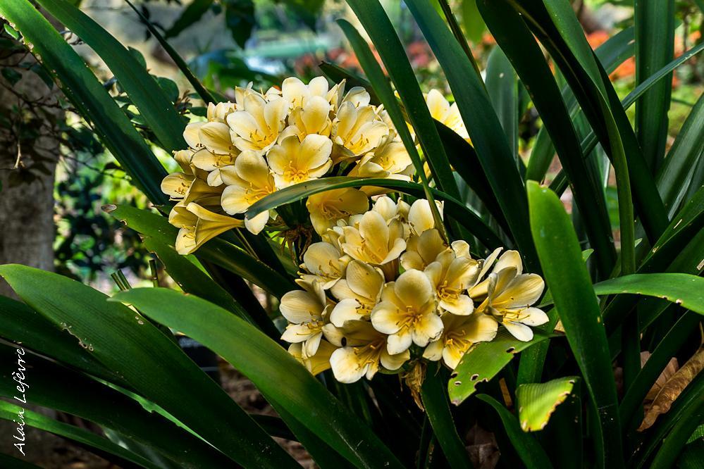 Plante verte fleurs pour l 39 ombre le clivia paperblog - Plantes pour balconnieres a l ombre ...