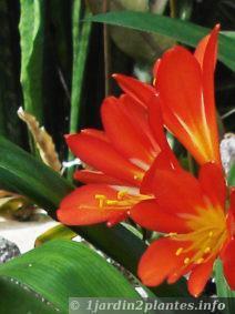 Plante verte fleurs pour l 39 ombre le clivia paperblog for Plante fleurie exterieur vivace