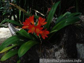 plante verte fleurs pour l 39 ombre le clivia paperblog. Black Bedroom Furniture Sets. Home Design Ideas