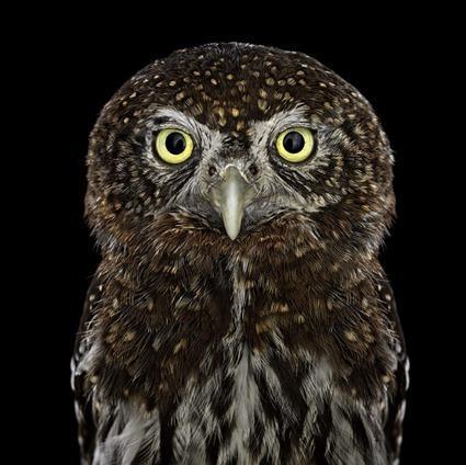 Chevêchette pygmée, Brad Wilson