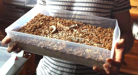 manger insectes comestibles Florian Nock Strasbourg