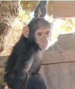 VIH-1: Découverte de l'origine du variant épidémique O chez le gorille  – PNAS