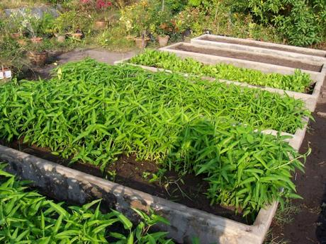 Ipomoea_aquatica-legume-exotique (3)