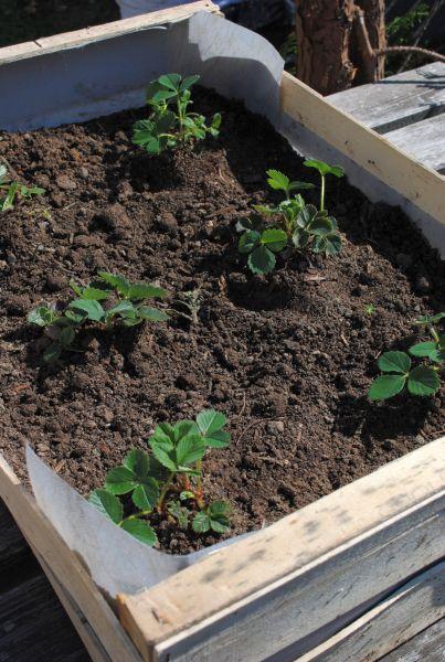 Planter Des Fraisiers En Cagette D Couvrir