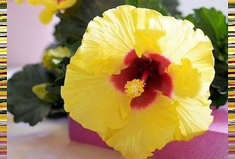 plante du mois de ma plante mon bonheur l 39 hibiscus d couvrir. Black Bedroom Furniture Sets. Home Design Ideas