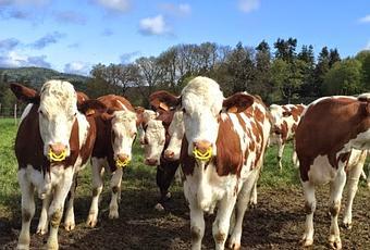Farandole de vaches du forez 42 paperblog - La farandole du gout embrun ...