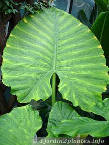 l 39 alocasia est une plante semi tropicale tr s larges feuilles d couvrir. Black Bedroom Furniture Sets. Home Design Ideas