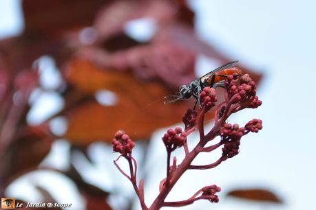 Cylindromyia bicolor• Famille des Tachinidae
