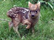 Trop mignon naissance d'un bébé pudu