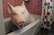 L'intelligence et la vie sociale des cochons !