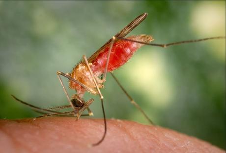 L'ANOPHÈLE: Vecteur du paludisme mais également de bactéries – APHM