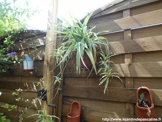 Spider plant, Chlorophytum comosum – How to grow and care