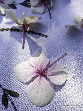 Ode à l'hortensias