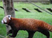 cerza (3)} Pandas Roux.