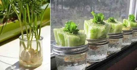 13 aliments faire pousser dans l eau vous aurez certainement envie d essayer paperblog - Faire pousser des endives dans l eau ...