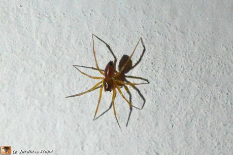 une petite araign e dont le bout de l 39 abdomen est noir paperblog. Black Bedroom Furniture Sets. Home Design Ideas