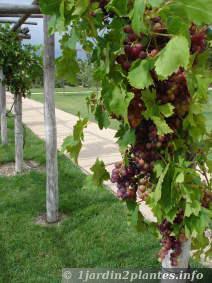 Les grappes de raisin sur une vigne une bonne taille et - Maladie du raisin photo ...