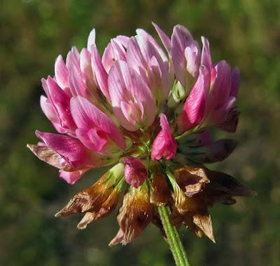 Des trèfles (3) : Trifolium Hybridum subsp. hybridum, Trèfle hybride