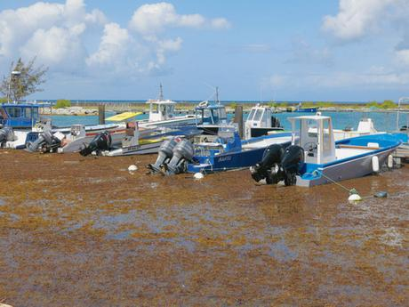 Le port de Saint-Francois, en Guadeloupe, est envahi par les sargasses qui prolifèrent aux Antill...
