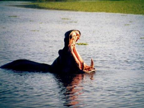 hippopotame-qui-baille