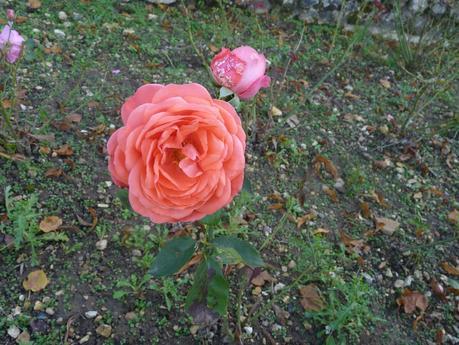 La dernière rose ...