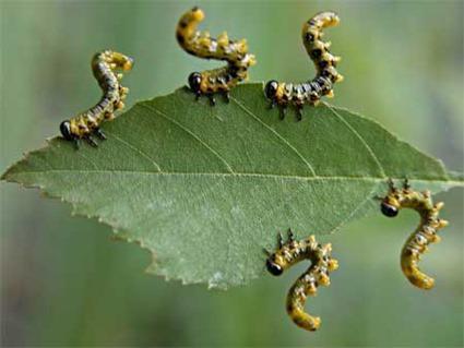 Larves de guêpes symphytes