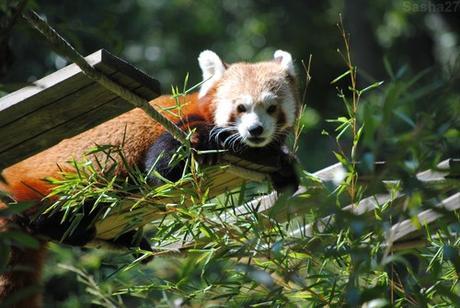(14) Ying, le mâle panda roux.