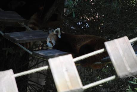 (1) Ying, le mâle panda roux.