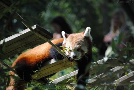 (7) Ying, le mâle panda roux.