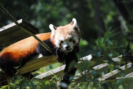 (10) Ying, le mâle panda roux.