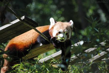 (9) Ying, le mâle panda roux.